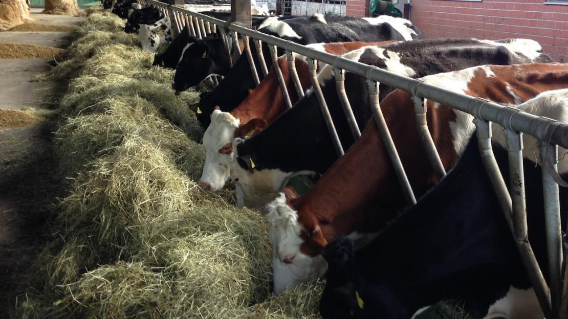Unsere Kühe bei fressen